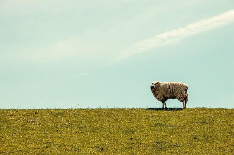 Ett får som står på gräs