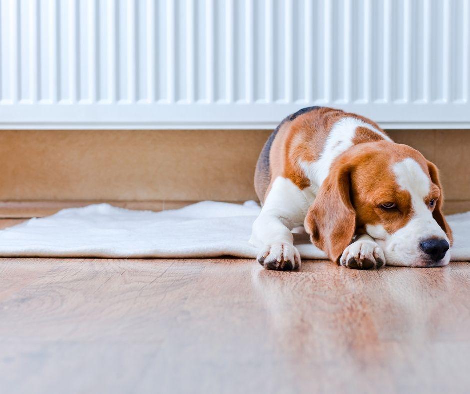 Hund ligger och vilar på golvet framför ett element.