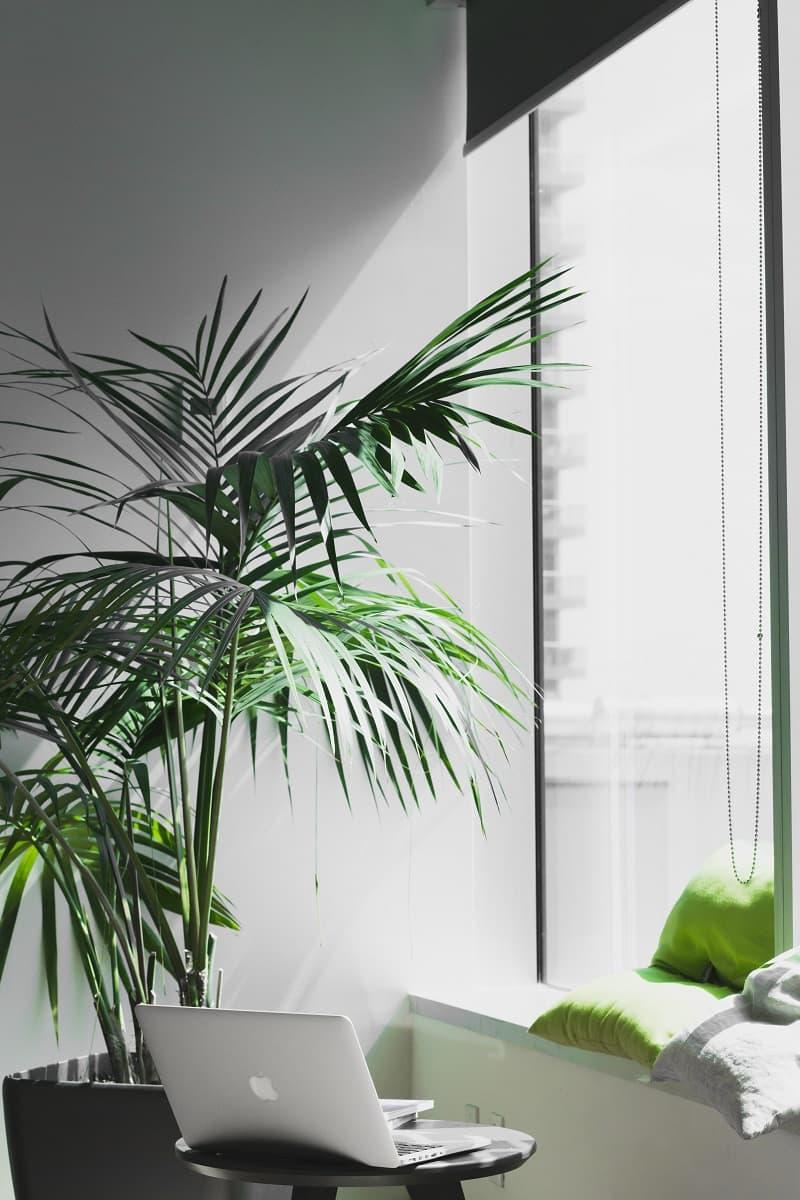En stor palmväxt.