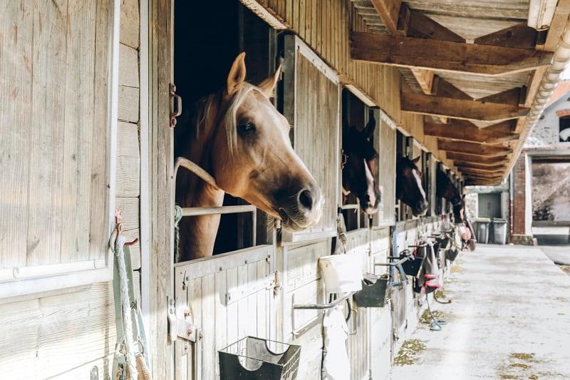 Häst kikar ut från sin box i stallet.