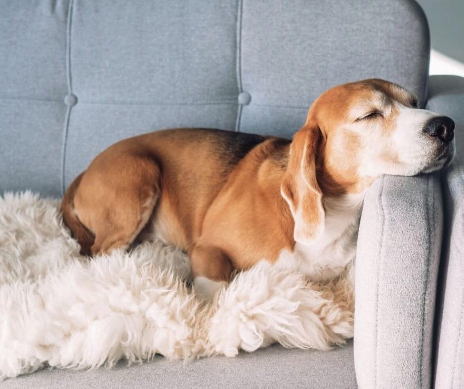 En hund som myser i soffan.