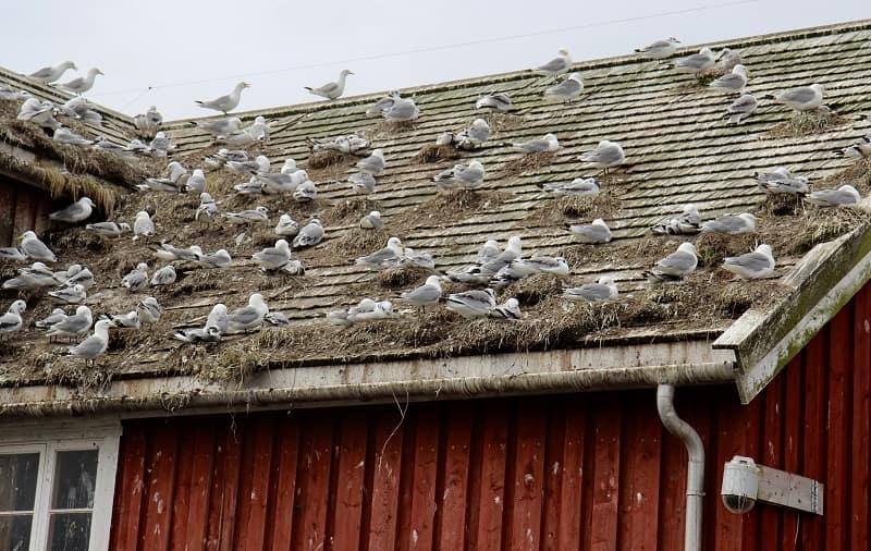 Fiskmåsar har byggt bon på taket och förstört det.